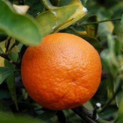 Mandarin kalória tartalma és jótékony hatásai